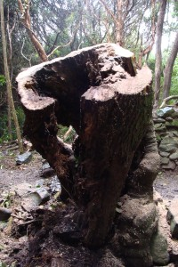 Broadleaf stump in the western corner of the building