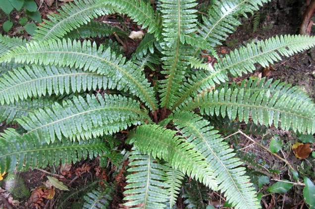 Crown fern (Blechnum discolor)