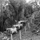 Bullock team logging timber