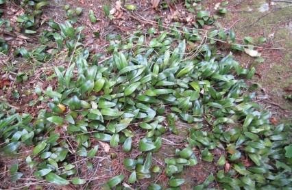 Leather leaf fern (Pryrrosia-elaeagnifolia)
